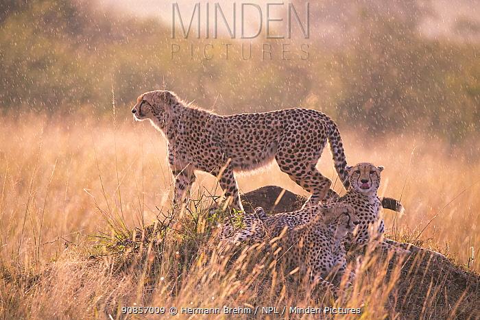Cheetah (Acinonyx jubatus), in the rain, Masai Mara, Kenya