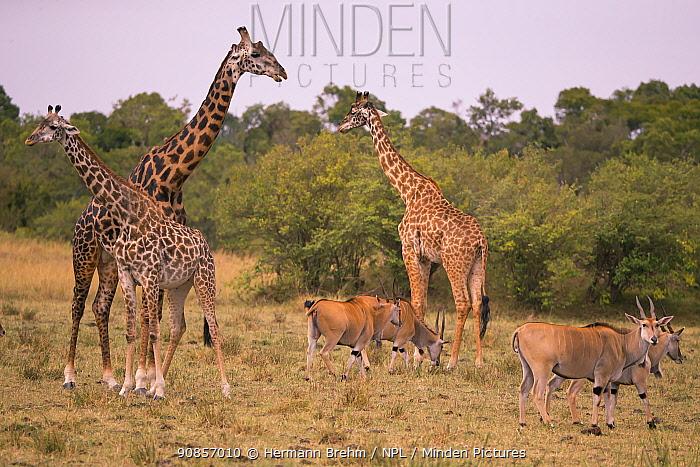 Eland (Tragolaphus oryx), females and Giraffe (Giraffa camelopardalis) Masai Mara, Kenya