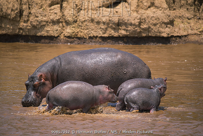 Hippopotamus (Hippopotamus amphibius) with three young animals, in water, Masai Mara, kenya