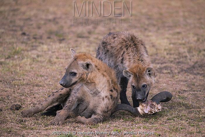 Spotted Hyena (Crocuta crocuta) with wilderbeest skull, Masai Mara, Kenya