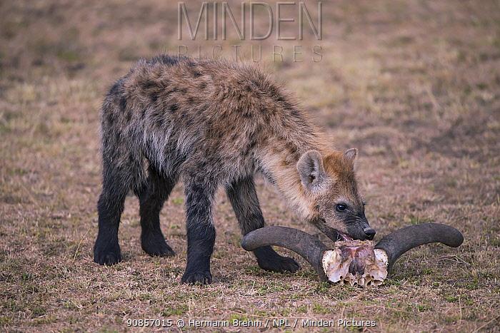 Spotted Hyena (Crocuta crocuta), juvenile with wildebeast skull Masai Mara, Kenya