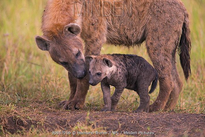 Spotted Hyena (Crocuta crocuta), with cub Masai Mara, Kenya