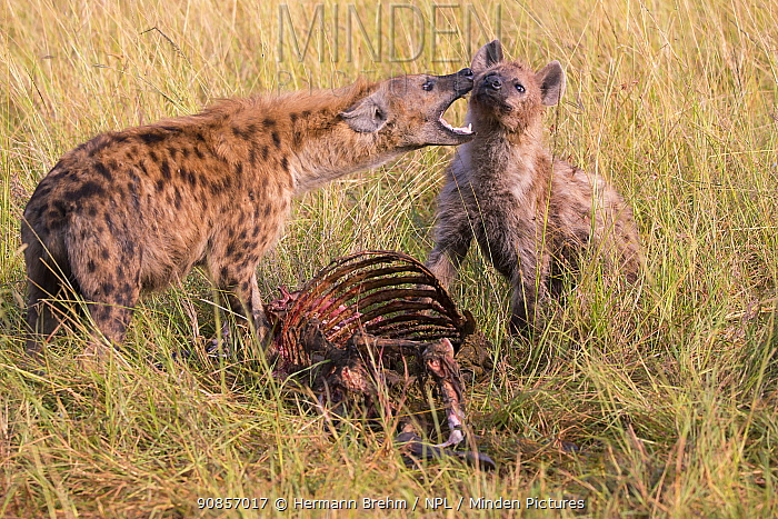 Spotted Hyena (Crocuta crocuta) interaction over carcass, Masai Mara, Kenya