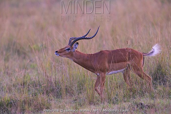Impala (Aepyceros melampus), male during rutting season Masai Mara, Kenya