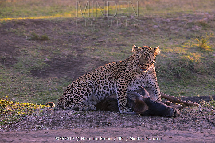 Leopard (Panthera pardus), female dragging the kill to the woods, Masai Mara, Kenya