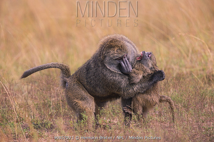 Baboon (Papio cynocephalus), male attacking youngster, Masai Mara, Kenya