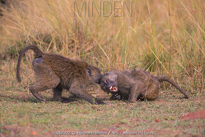 Baboon (Papio cynocephalus), juveniles fighting,, Masai Mara, Kenya