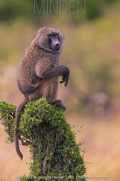 Baboon (Papio cynocephalus), sentry looking out, Masai Mara, Kenya