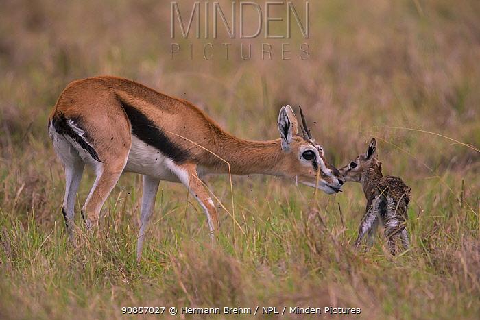 Thomson's gazelle (Gazella thomsoni) mother with new born fawn Masai Mara, Kenya