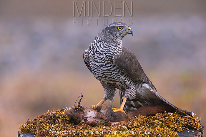 Goshawk (Accipiter gentilis) adult feeding on a Red Squirrel, Bavaria , Germany