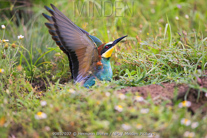 Bee-eater (Merops apiaster), nesting on flat ground, rather than in sand bank, Hungary