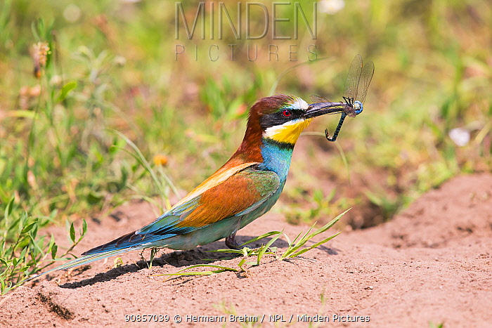 Bee-eater (Merops apiaster), with dragonfly prey, Hungary