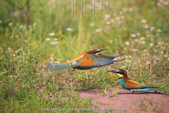 Bee-eater (Merops apiaster) pair, near nest on flat ground, rather than on sandy banks, Hungary