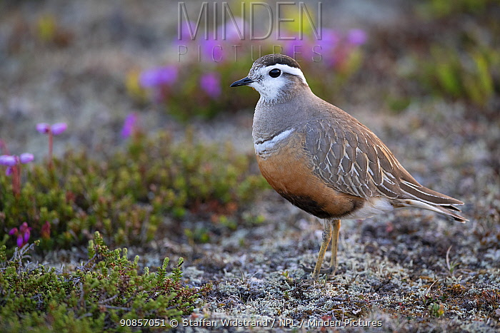 Dotterel, (Charadrius morinellus) female with Blue mountain heath (Phyllodoce caerulea) flowers, Ljungdalsfjallen, Harjedalen, Sweden