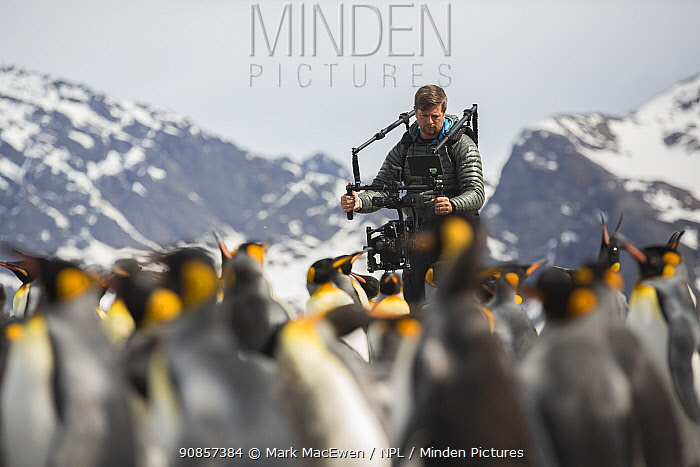 Cameraman Mark MacEwen filming King penguin (Aptenodytes patagonicus) colony, mountains in background. Taken on location for BBC Seven Worlds One Planet series. South Georgia. 2017. Model released.