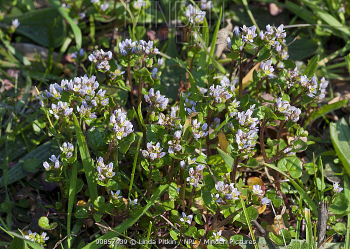 Danish scurvygrass (Cochlearia danica) on road verge. Surrey, England, UK. March.