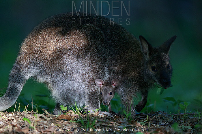Red-necked wallaby (Macropus rufogriseus) female with joey in pouch, feeding on leaves. Wallaby population naturalised after escaping from an animal park. Rambouillet forest, France. May.