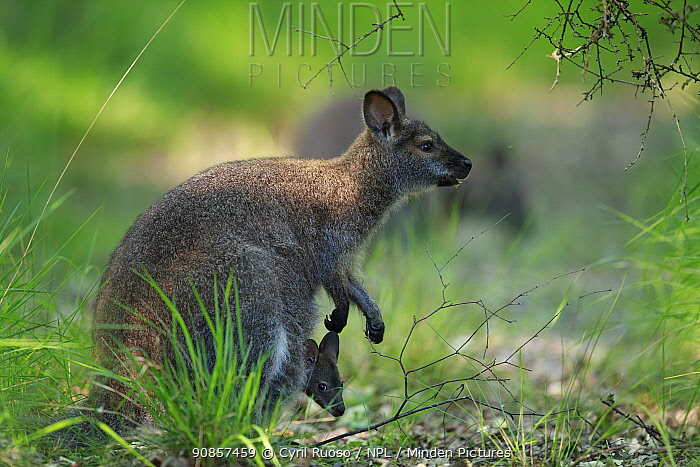 Red-necked wallaby (Macropus rufogriseus) female with joey in pouch. Wallaby population naturalised after escaping from an animal park. Rambouillet forest, France. June.