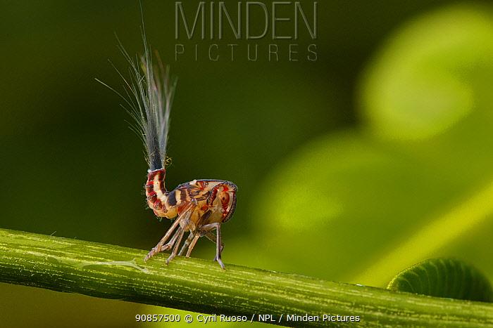 Lantern bug (Pyrops sp) larvae on stem. Golfito, Costa Rica.