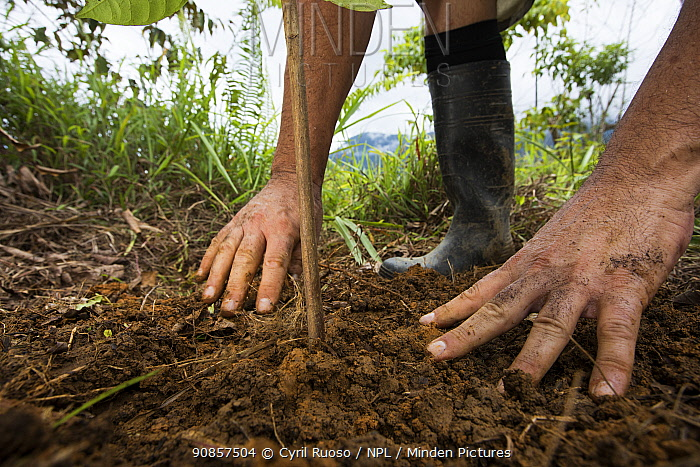 Person planting tree in pasture, part of a tropical rainforest regeneration project. Golfito, Costa Rica. 2018.