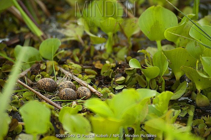 Wattled jacana (Jacana jacana) eggs on nest in wetland. Kaw-Roura Marshland National Nature Reserve, French Guiana.