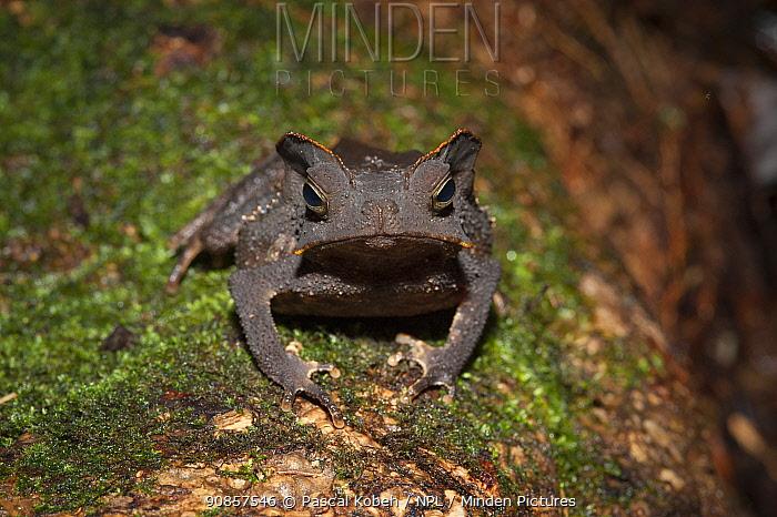 South American common toad (Rhinella margaritifera) on mossy log. Tresor Regional Nature Reserve, French Guiana.