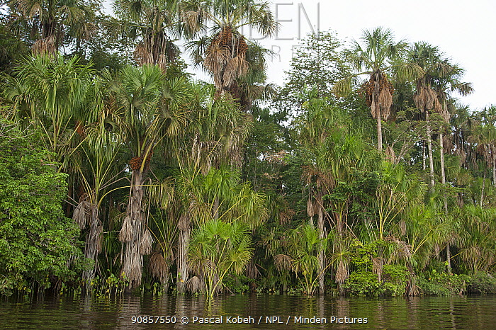 Rainforest with palm trees on bank of Oyapock River, French Guiana. 2015.