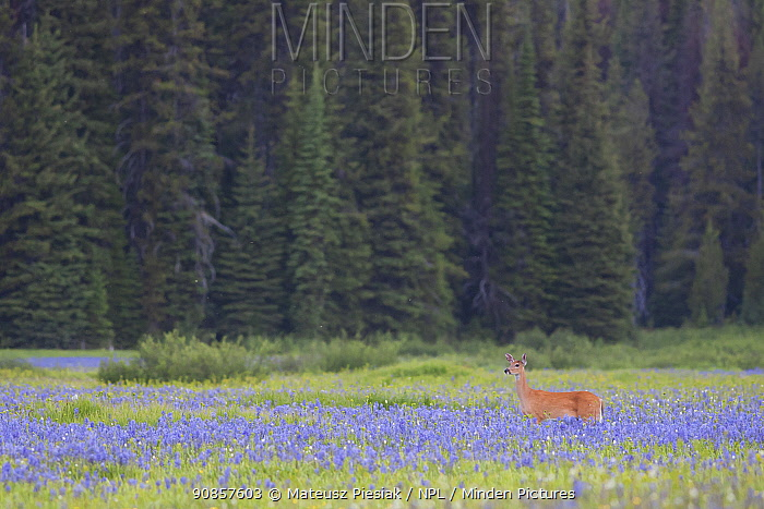 White-tailed Deer (Odocoileus virginianus) walking on the meadow surrounded by forests in Montana, USA. July.
