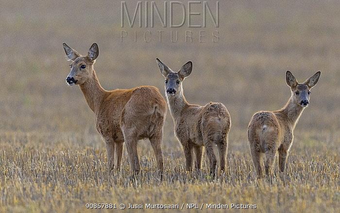 Roe deer (Capreolus capreolus), female with two fawns. Kirkkonummi, Finland. September.