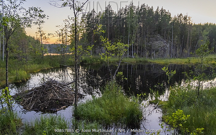 North American beaver (Castor canadensis) lodge in wetland at sunset, woodland in background. Isojarvi National Park, Finland. August 2020.