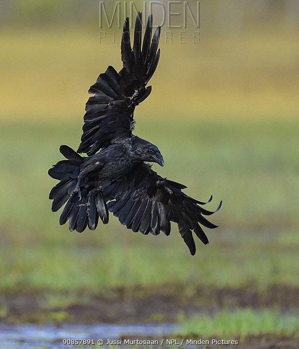 Common raven (Corvus corax) in flight. Kiekinkoski, Finland. June.