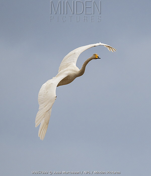 Whooper swan (Cygnus cygnus) in flight. Hankasalmi, Finland. April.