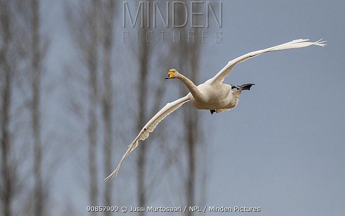 Whooper swan (Cygnus cygnus) in flight. Hankasalmi, Finland. April.