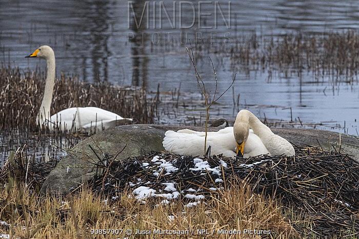Whooper swan (Cygnus cygnus) pair nesting at edge of lake. Jyvaskyla, Finland. May.