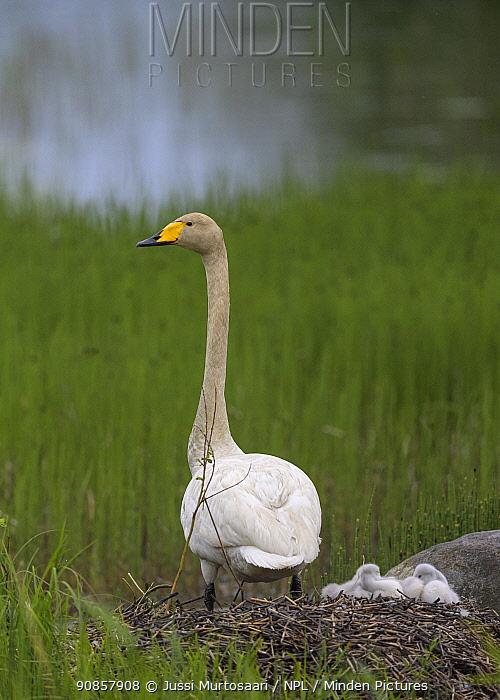 Whooper swan (Cygnus cygnus) female at nest with cygnets, awaiting arrival of male. Jyvaskyla, Finland. June.