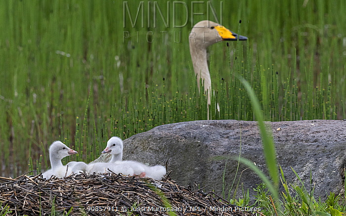 Whooper swan (Cygnus cygnus) chicks on nest, female in background. Jyvaskyla, Finland. June.
