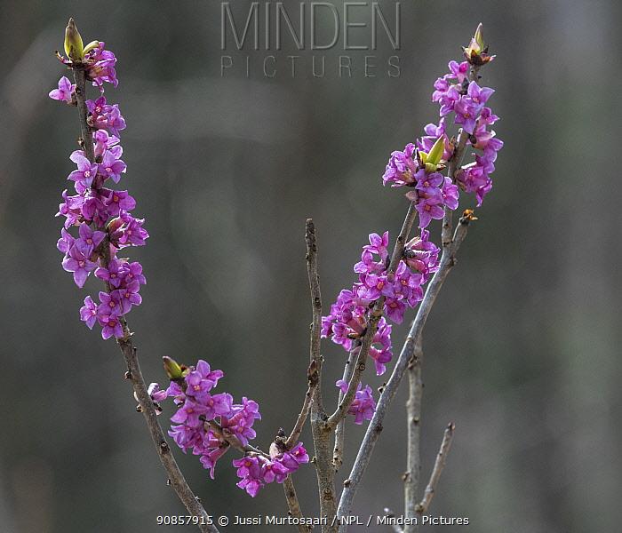 Mezereon (Daphne mezereum). Jyvaskyla, Finland. April 2020.
