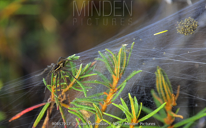 Raft spider (Dolomedes fimbriatus) on web, guarding spiderlings until they are ready to disperse. Isojarvi National Park, Finland. August.