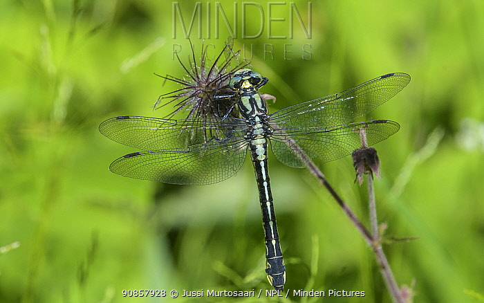 Common clubtail dragonfly (Gomphus vulgatissimus) female resting on seedhead. Onkisalo, Finland. June.