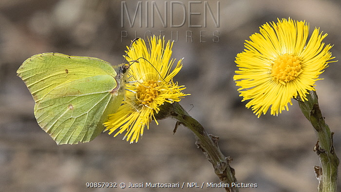 Brimstone butterfly (Gonepteryx rhamni) male nectaring on Coltsfoot (Tussilago farfara). Jyvaskyla, Finland. May.