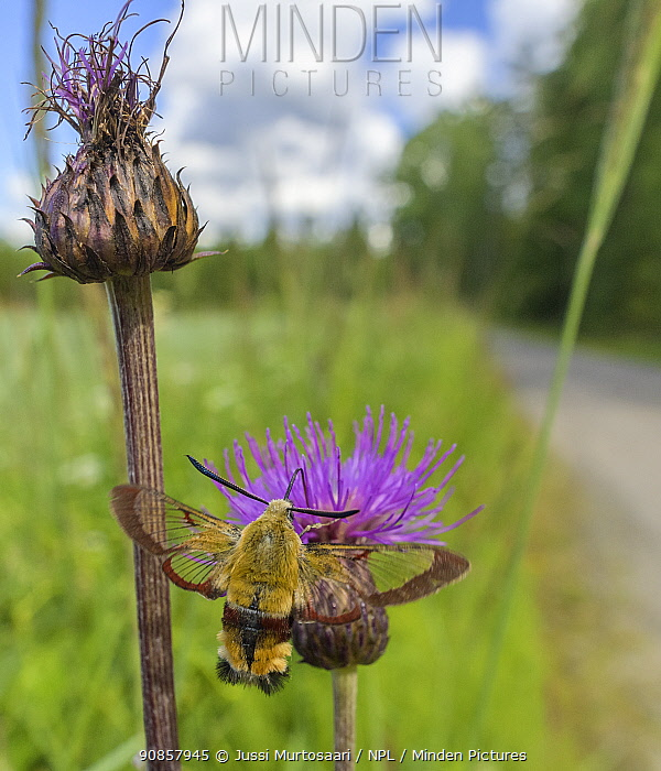 Broad-bordered bee hawk-moth (Hemaris fuciformis) nectaring on Melancholy thistle (Cirsium helenioides) on road verge. Jyvaskyla, Finland. July.