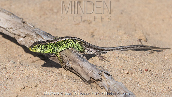 Sand lizard (Lacerta agilis) male basking on stick in sand. Paimio, Finland. May.