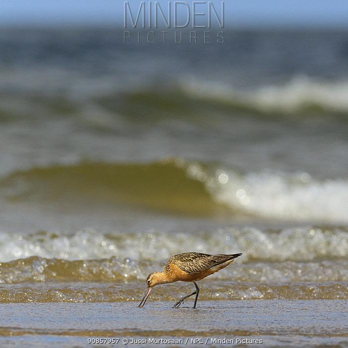 Bar-tailed godwit (Limosa lapponica) male feeding on shoreline. Kalajoki, Oulu,