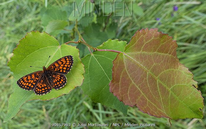 Heath fritillary (Melitaea athalia) male resting on leaf. Jyvaskyla, Finland. July.