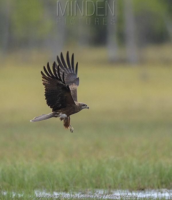 Black kite (Milvus migrans) in flight over grassland. Kiekinkoski, Finland. June.