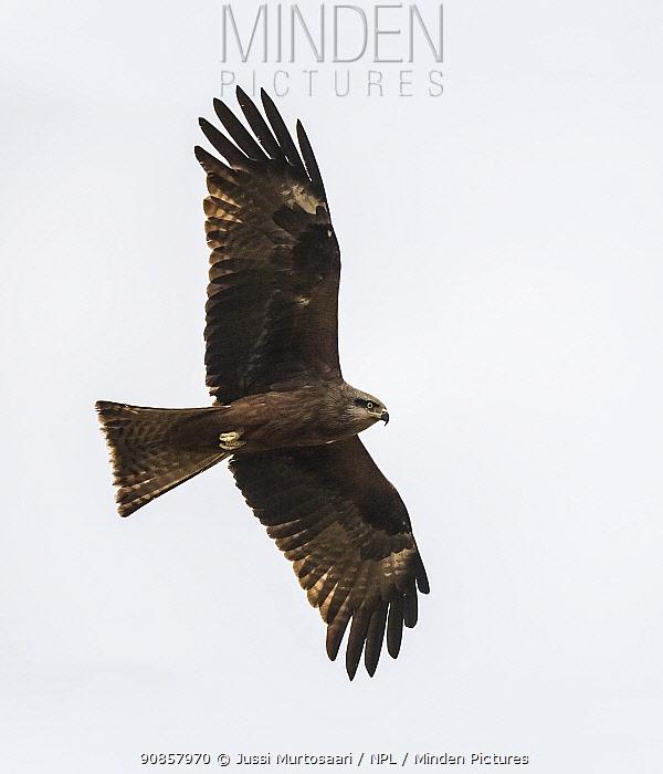 Black kite (Milvus migrans) in flight. Kiekinkoski, Finland. June.