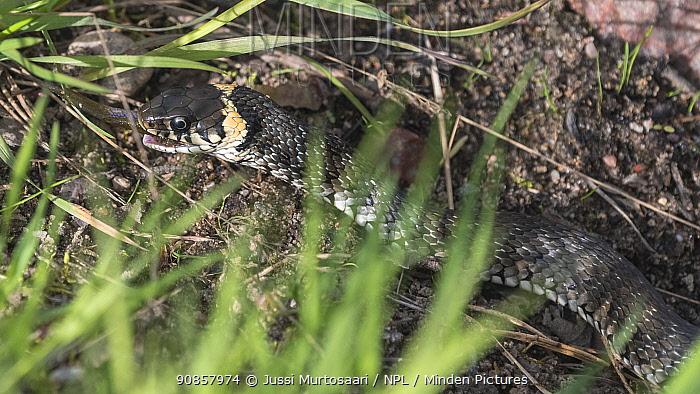 Grass snake (Natrix natrix) feeding on fish. Paimio, Finland. May.