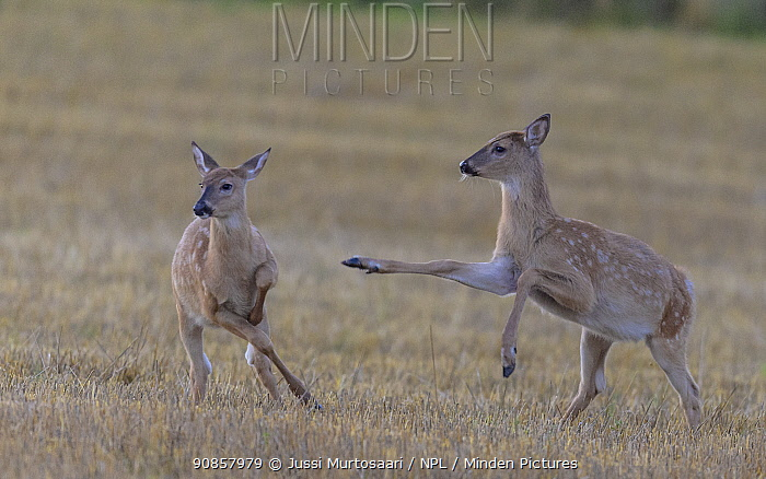 White-tailed deer (Odocoileus virginianus), two fawns playing in field. Kirkkonummi, Finland. September.