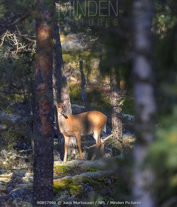 White-tailed deer (Odocoileus virginianus) in woodland. Kirkkonummi, Finland. September.