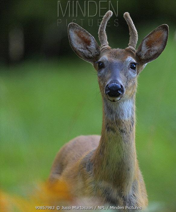White-tailed deer (Odocoileus virginianus) buck, portrait. Kirkkonummi, Finland. September.